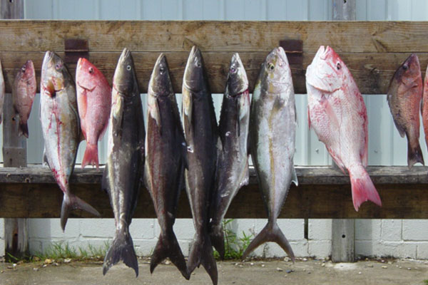 Tuna, Grouper, various Snapper, Swordfish, Wahoo all available on our offshore trips
